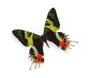 在白色查出的热带蝴蝶 免版税库存图片