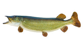 在白色查出的白斑狗鱼 免版税库存照片