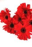 在白色查出的红色大丁草花 库存照片