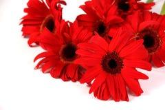 在白色查出的红色大丁草花 免版税图库摄影