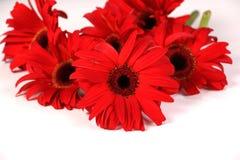 在白色查出的红色大丁草花 免版税库存图片