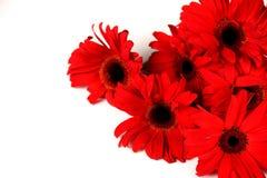 在白色查出的红色大丁草花 库存图片