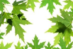 在白色查出的绿色槭树叶子 免版税库存图片