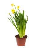 黄水仙在白色查出的罐开花 库存照片