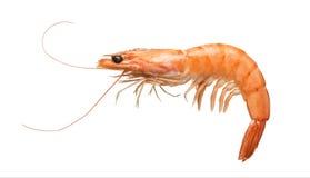 在白色查出的老虎虾 库存图片