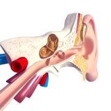 在白色查出的耳朵解剖学 库存图片