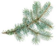 在白色查出的蓝色云杉的枝杈 免版税库存图片