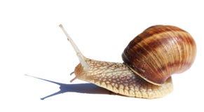 在白色查出的蜗牛 库存图片