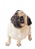 在白色查出的逗人喜爱的哈巴狗 免版税库存图片