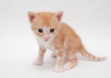 在白色查出的逗人喜爱的姜小猫 免版税库存照片