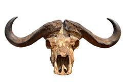 在白色查出的非洲水牛城的头骨 库存图片