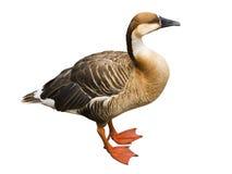 在白色查出的鸭子 免版税库存照片
