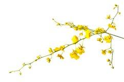 在白色查出的黄色兰花花 免版税库存图片
