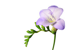 在白色查出的紫色小苍兰花 免版税库存照片