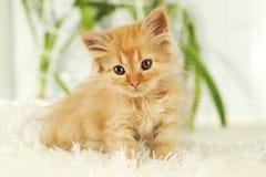 在白色格子花呢披肩,关闭的红头发人小猫 库存图片