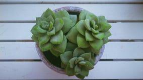 在白色桌上的多汁植物 免版税库存图片