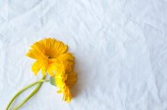 在白色桌布的黄色大丁草 库存照片