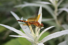 在白色植物的橙色蜻蜓 免版税库存图片