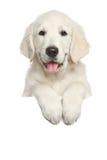在白色横幅上的金毛猎犬小狗 免版税图库摄影