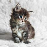 在白色毛皮背景的小缅因浣熊小猫 免版税库存图片
