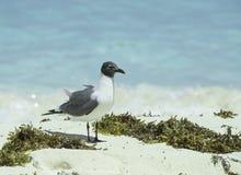 在白色沙子的一只笑的鸥与海草 免版税图库摄影