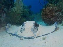 在白色沙子的南部的黄貂鱼在Cuba& x27; s Jardin de la Reina 免版税库存照片