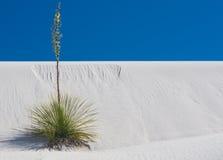 在白色沙子的孤立Soaptree丝兰 库存图片