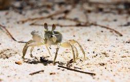 在白色沙子的螃蟹 免版税图库摄影