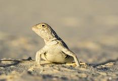 在白色沙子的被漂白的无耳蜥蜴 免版税库存照片