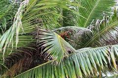 在白色沙滩的美丽的棕榈树在天堂海岛塞舌尔上 免版税库存图片