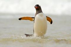 在白色波浪的企鹅 当游泳通过海洋在福克兰是时, Gentoo企鹅,水禽跳出大海 免版税库存图片