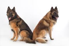 在白色演播室背景的两条狗 免版税库存图片