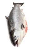 在白色演播室背景隔绝的整个苏格兰三文鱼鱼 库存照片