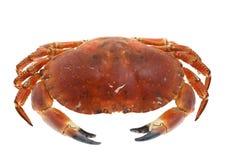 在白色煮熟隔绝的螃蟹 库存照片