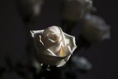 在白色玫瑰的太阳 库存照片