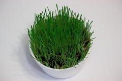在白色玻璃的绿色发芽的麦子在白色背景 免版税图库摄影