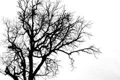 在白色的一个树剪影 免版税库存照片