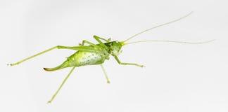 在白色的一只绿色蚂蚱 免版税库存图片