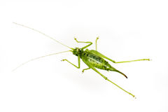在白色的一只绿色蚂蚱 免版税库存照片