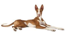 在白色的一条岁Podenco ibicenco狗 免版税库存图片