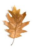 在白色的一片干燥下落的橡木叶子 库存照片