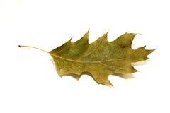 在白色的一片干燥下落的橡木叶子 免版税库存照片