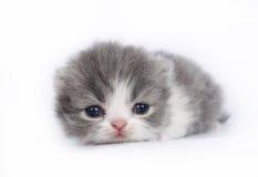在白色的三个星期的小猫 免版税库存图片