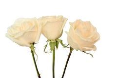 在白色的三朵乳脂状的玫瑰 库存照片