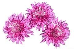 在白色的三朵大双重桃红色菊花 免版税图库摄影