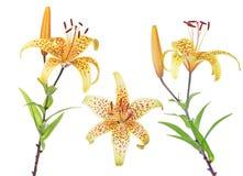 在白色的三朵黄色被察觉的百合花 免版税库存照片