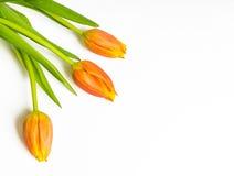 在白色的三橙色郁金香 免版税库存照片