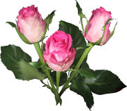 在白色的三浅粉红色的玫瑰芽 免版税库存图片