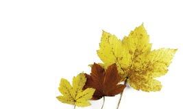 在白色的三片秋天叶子 免版税图库摄影