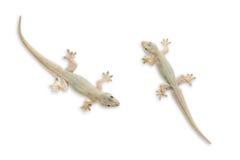 在白色的两只壁虎孤立与裁减路线 免版税库存图片